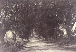 Avenue of Banian Trees [Salem District]